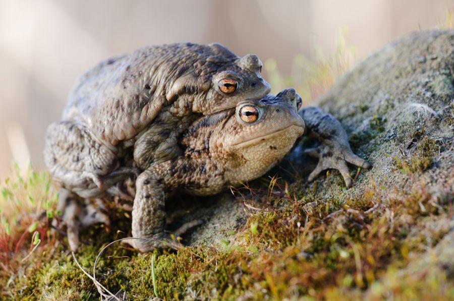 Erdkröten (Bufo bufo) bei der Wanderung