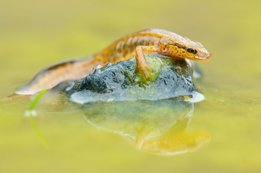 Fadenmolch (Lissotriton helveticus)