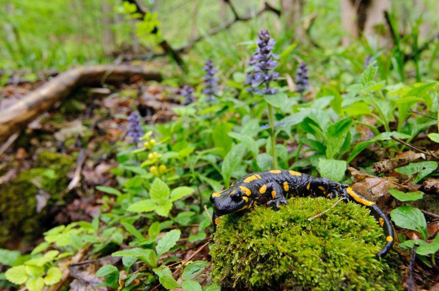 Feuersalamander (Salamandra salamandra) im Lebensraum