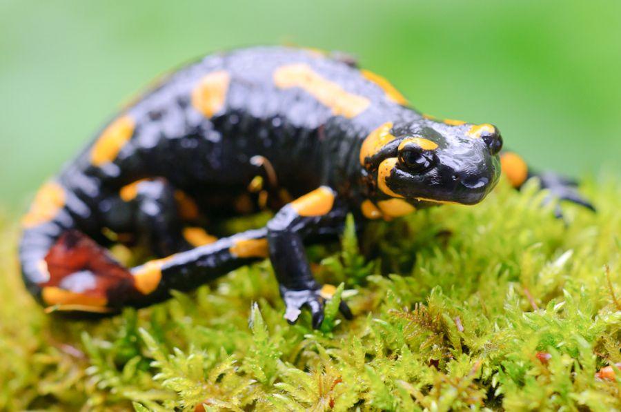 Feuersalamanderweibchen (Salamandra salamandra)
