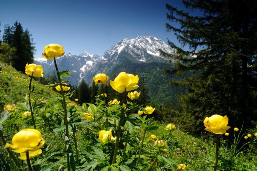 Trollblumen im Nationalpark Berchtesgaden