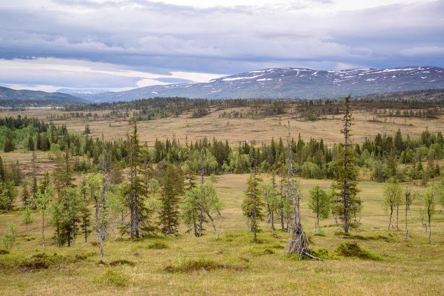 Norwegischer Wald