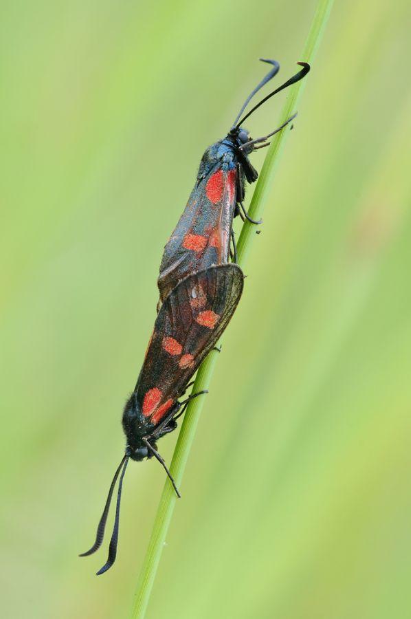 Sechsfleck-Widderchen (Zygaena filipendulae) bei der Paarung