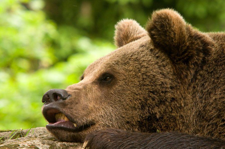 Braunbär (Ursos arctos) - C