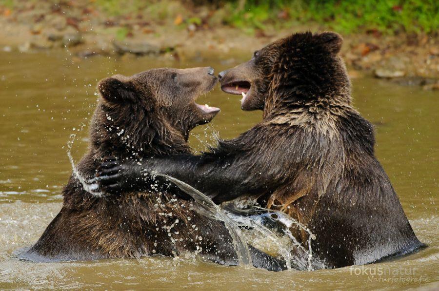 Spielende Braunbären (Ursus arctos)