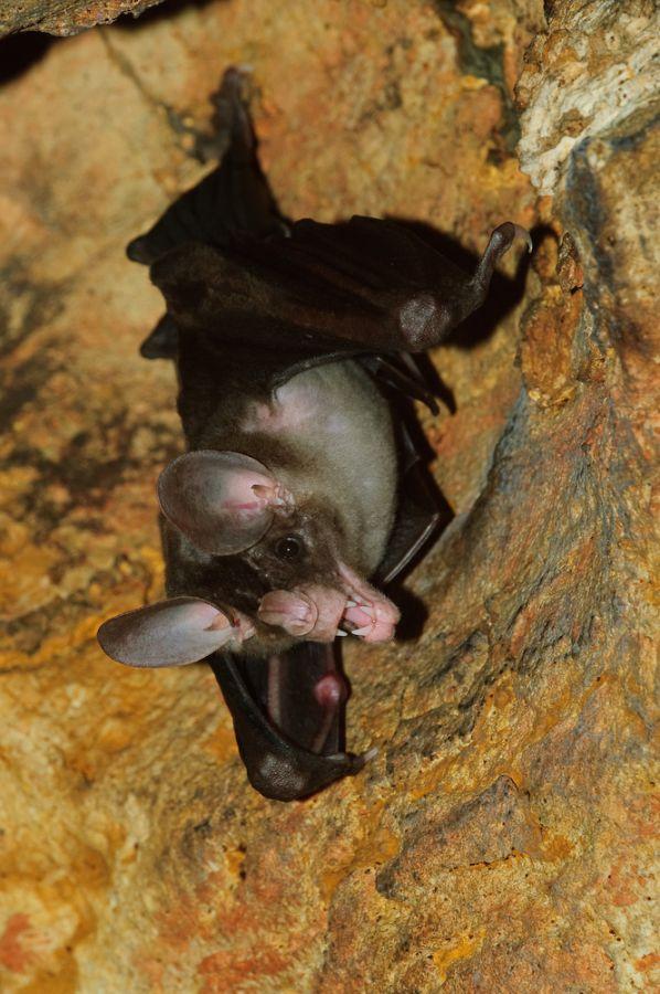 Falsche Vampirfledermaus (Vampyrum spectrum)
