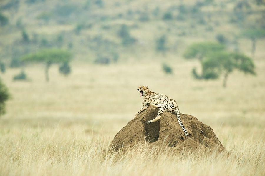 Gepard auf Termitenhügel