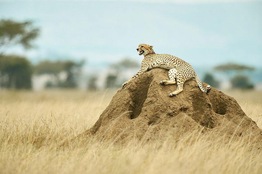 Gepard in der Savanne