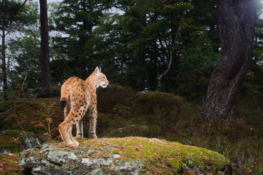 Luchs (Lynx lynx) auf der Kamerafalle