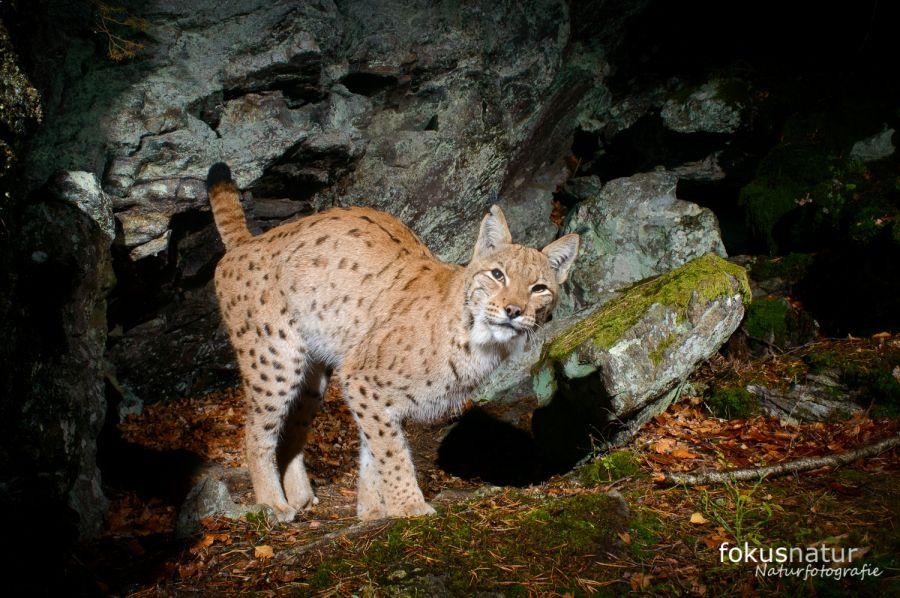 Luchs (Lynx lynx) markiert sein Revier