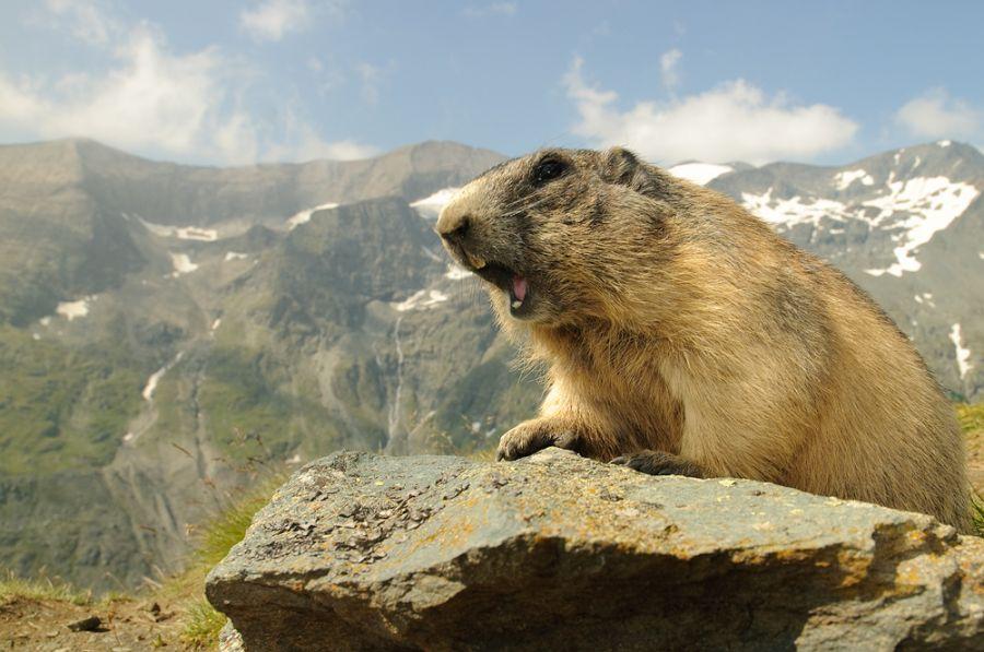 Alpen und Murmeltier (Marmota marmota)