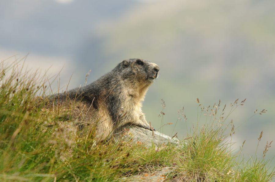 Erwachsenes Murmeltier (Marmota marmota)