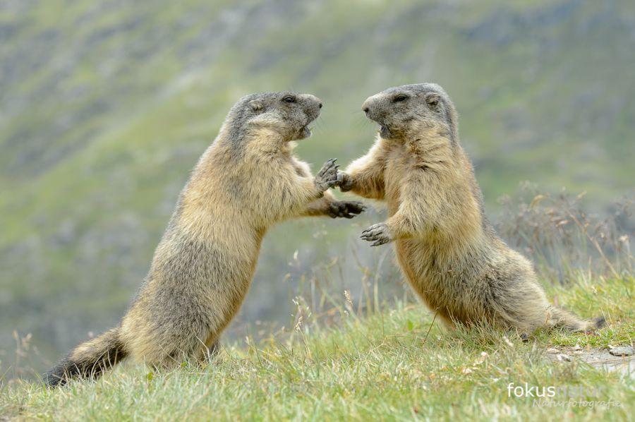 Murmeltiere (Marmota marmota)