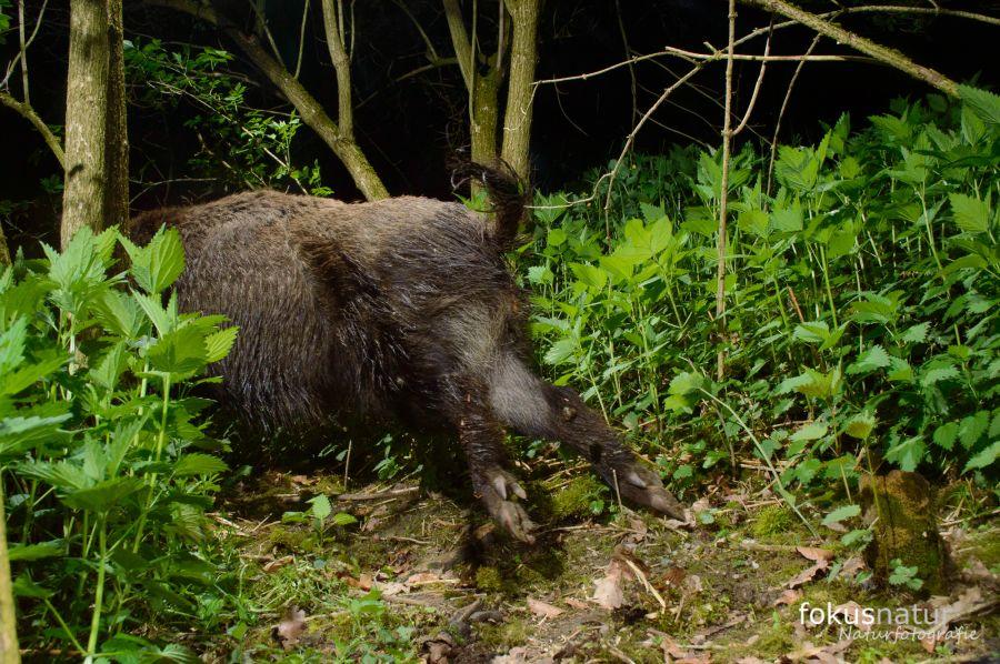 Flüchtendes Wildschwein (Sus scrofa)