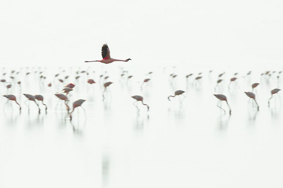 Zwergflamingos am Lake Natron