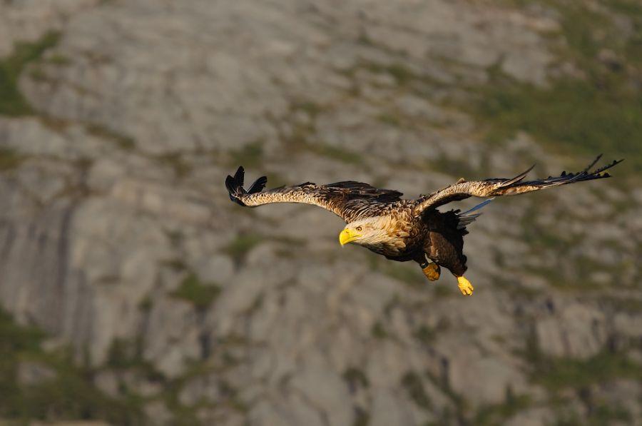 Fliegender Seeadler (Haliaeetus albicilla)