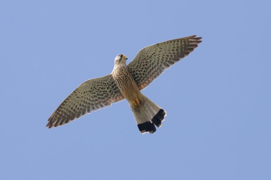 Rüttelnder Turmfalke (Falco tinnunculus)