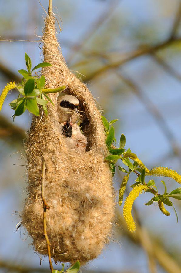 Beutelmeisen beim Nestbau
