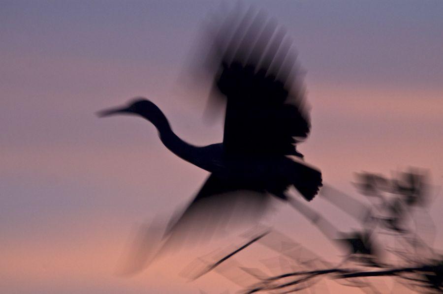 Abfliegender Dreifarbreiher