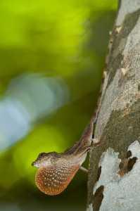 BICA-Anolis - Norops bicaorum_1