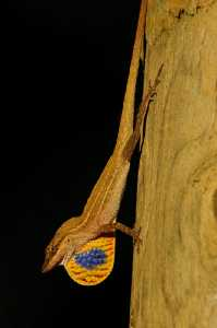 Seidenanolis (Norops sericeus)