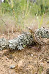 Weibliche Zauneidechse (Lacerta agilis)