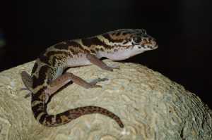 Gebänderter Lidgecko (Coleonyx mitratus)