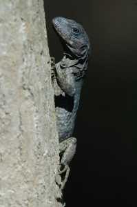 Utila-Leguan - Ctenosaura bakeri_4