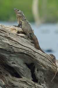 Utila-Leguan - Ctenosaura bakeri_5