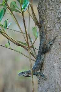 Leguane