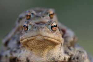 Erdkröten (Bufo bufo)