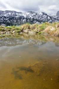 Bergmolche im Laichgewässer