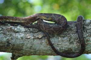 Kletternatter (Pseudoelaphe flavirufa)