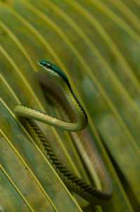 Papageienschlange (Leptophis mexicana)