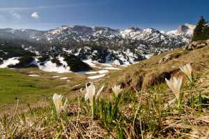 Alpenkrokusse (Crocus vernus)