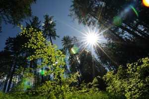 Lichtung im Fichtenwald