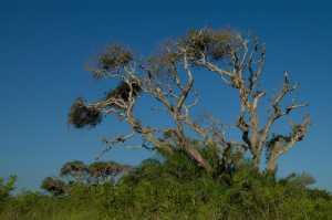 Baum in Cuero y Salado