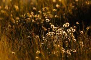 Wollgras im Moor