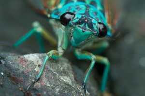 Blaue Zikade