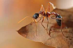 Ameisenwäsche (Myrmecia nigriceps)