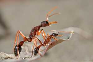 Mutter und Tocher (Myrmecia nigriceps)
