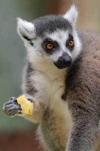 Katta (Lemur catta) - C