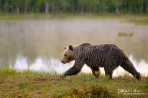 Braunbär (Ursos arctos)