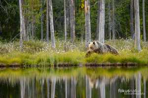 Wilder Braunbär (Ursos arctos)