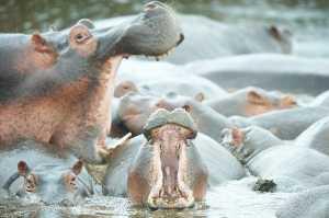 Flusspferde im Ngorongoro Crater