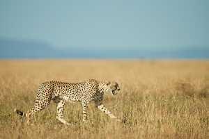 Gähnender Gepard