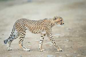 Gepard im Sand
