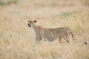 Gepard nach der Mahlzeit