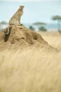 Gepard ruft von Aussichtspunkt