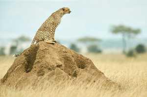 Gepard sitzt auf Termitenhügel